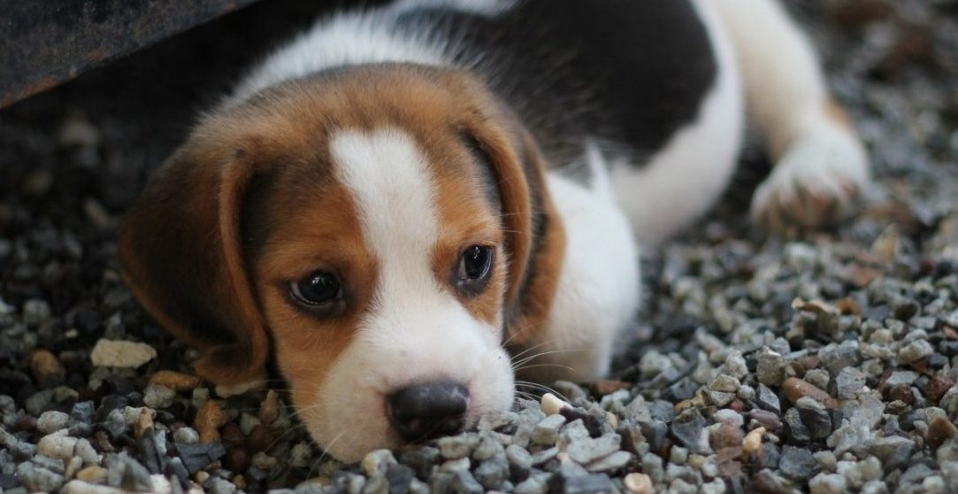 Homeless beagle puppy