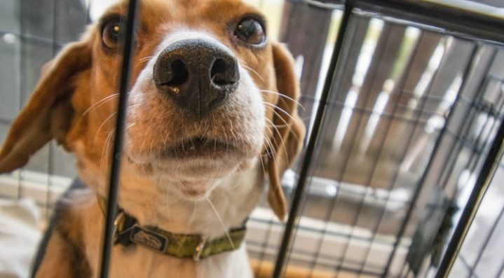 Abused caged beagle